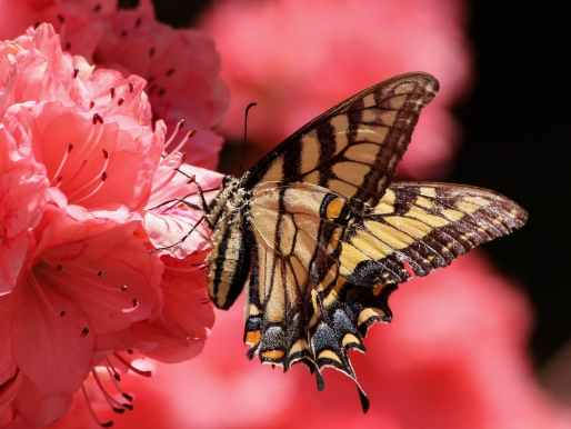 butterfly-flying-insect-old-world-swallowtail-pollen-70352.jpeg