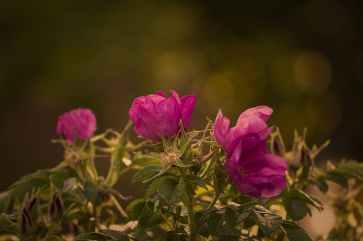 garden-rose-rose-red-summer.jpg