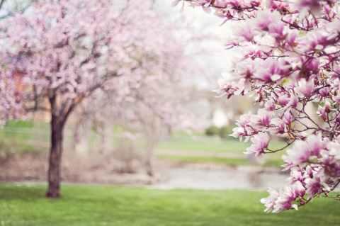 magnolia-trees-springtime-blossoms-spring-38910.jpeg